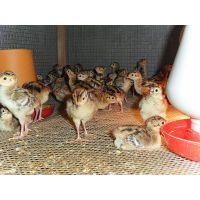 赣州山鸡养殖场-新余-景德镇野鸡苗多少钱一只