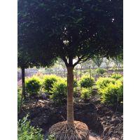 四川8-15公分高杆高分枝八月桂供应|八月桂价格|精品八月桂产地|