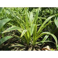 供应供地被植物-彩叶麦冬、金边麦冬、花叶麦冬、小叶麦冬