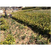 泉州哪里能买到油茶苗|泉州哪里有卖油茶苗|泉州哪有油茶苗培育基地