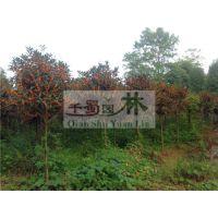 5-8公分桂花供应,精品桂花产地,高杆高分枝桂花