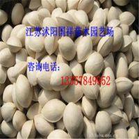 供应银杏白果种子 产地直销 保质保量 量大从优 欢迎前来选购