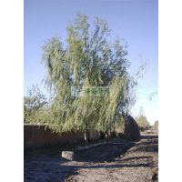 供应8-25cm垂柳 垂柳报价 供应垂柳