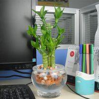 【富贵竹】荷花竹 莲花竹 土培 水培植物 办公室小型盆栽 防辐射