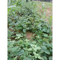 广西红颜草莓苗价格,红颜草莓苗批发商