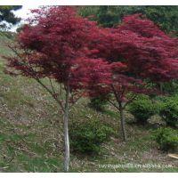 供应园林植物 红枫 红枫树 日本红枫 美国红枫秋火焰小苗