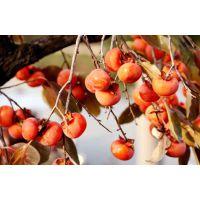 十月红柿子苗|柿子苗批发|四川柿子苗