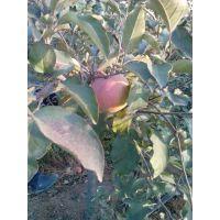 双1黄金梨树苗价格,黄金梨苗种植基地电话,黄金梨厂家销售价格