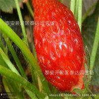 红颜草莓苗多少钱一株 红颜草莓苗栽培技术