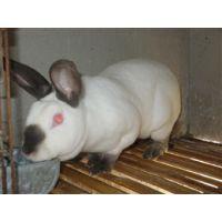 专业的加利福尼亚肉兔养殖中心是哪家