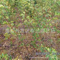 出售1年生山楂树苗 大金星山楂树苗木 0.5公分山楂实生苗