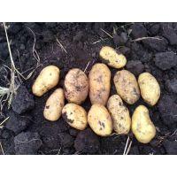 出售黑龙江马铃薯种子菜豆
