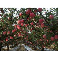 山东红富士苹果价格/红富士苹果规格/75-100