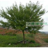 供应元宝枫 8-15cm 元宝枫价格 景观树