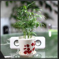 室内创意绿植花卉盆栽 常绿植物 袖珍椰子 办公室桌面 迷你小植物