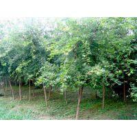 山东银杏树批发,1-3公分银杏树,泉萍苗圃种植银杏树多年,各种规格齐全