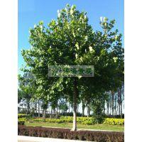 供应法桐8-30cm 景观树 法桐报价 法桐价格 精品法桐 一级法桐