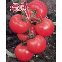 """高产耐寒冬季早春西红柿种子番茄种子——""""瑞琪"""""""