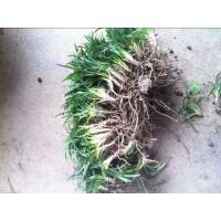 供应绿化苗木日本矮麦冬 玉龙草 金边麦冬 玉簪 黑麦草 白三叶草 红花草