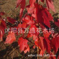 直销美国红枫小苗 美国改良红枫 北美红枫 现货充足 园林绿化苗木