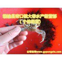 厂家出售(50只~60只)/斤长江系毛蟹 大闸蟹蟹苗  螃蟹苗 长江