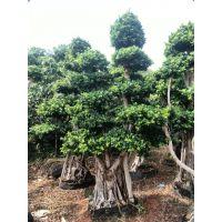 产地大量直销批发大中小规格福建造型嫁接榕树桩头盆景