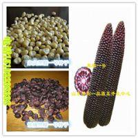 黑玉米种子▁黑玉米种子价格▁黑玉米种子杂交▁黑玉米种子产地批发