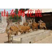 供应梅花鹿养殖场 梅花鹿苗 梅花鹿血 梅花鹿价格 山东家龙骆驼养殖场