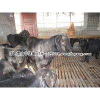 供应努比亚黑山羊种羊促销放价