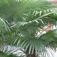 供应棕榈 大量出售各规格棕榈 棕榈价格  绿化苗木