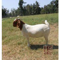 供应江苏天和波尔山羊 种羊波尔山羊 波尔山羊繁殖利润 优质波尔山羊