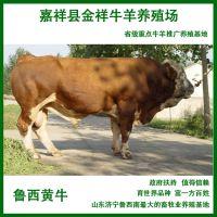 供应广东***适合养殖鲁西黄牛 山东养殖场提供优质肉牛品种