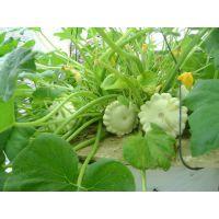 供应飞碟瓜种子品种