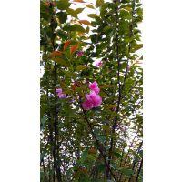 成都千蜀园林供应9-10公分 高杆日本晚樱,晚樱价格,精品晚樱产地