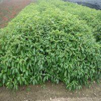 供应优质绿化苗木乔木 香樟树 移栽香樟 香樟小苗 香樟种子