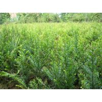 红豆杉健康树,红豆杉盆景,红豆杉种植方法