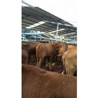 太原有没有出售西门塔尔牛的养殖场