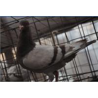 供应优质种鸽(肉鸽)以及商品乳鸽