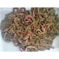 饲料虫,石斑鱼饲料虫,高端鱼饲料,活沙蚕,沙蚕饲料