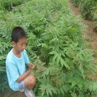 从事经营批发红油香椿树苗种子山东园艺场
