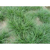 供应耐寒地被植物-沿阶草,沿阶草草籽,沿阶草直销基地