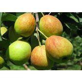 陕西六月酥梨产地价格陕西早酥梨产地批发价格