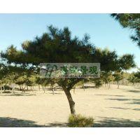供应黑松 供应油松 供应3-8m黑松 黑松价格 油松价格