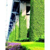 供应垂直绿化苗木-屋顶绿化植物,垂盆草,垂盆草直销基地