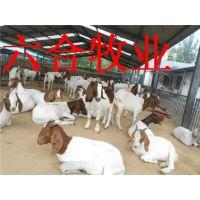 哪里有小尾寒羊波尔山羊奶羊养殖场山东肉牛养殖业