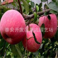 矮化短枝苹果苗 矮化果树果苗木 富士苹果树苗批发价格