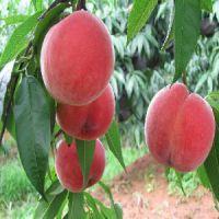 绿然种植养殖合作社出售供应便宜的映霜红桃树苗,高产桃树苗批发种植