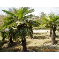 供应北方耐寒乔木-棕树,及北方棕榈种子,耐寒棕榈小苗