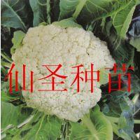 批发圣菲F1松花菜 台湾青梗松花菜种子 有机菜花种子 寿光有机特色蔬菜种子 散花菜
