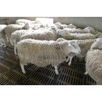 封丘县应举种羊场 大量供应优质小尾寒羊怀孕母羊